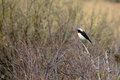 Pied Wheatear Royalty Free Stock Photo