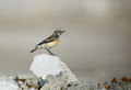 Pied wheatear sitting on stone a small insectivorous passerine bird Stock Images