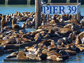 PIER 39 & Sea lion Royalty Free Stock Photo