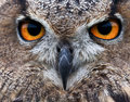 Piercing owl eyes Royalty Free Stock Photos