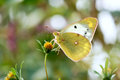 Pieridae butterfly the close up of a on flowers scientific name colias fieldii Royalty Free Stock Photo