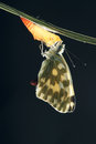 Pieridae butterfly the close up of just moult scientific name pontia daplidice Stock Image