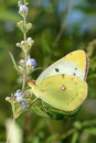 Pieridae butterfly the close up of yellow scientific name pieris rapae Stock Photo