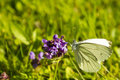 Pieridae butterfly at flower Stock Photo