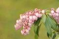 "Pieris japonica or adromeda japonica ""katsura"" inflorescence japanese macro Stock Photography"