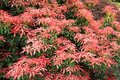 Pieris japonica red head red head pieris close up Royalty Free Stock Photo