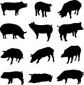 Pig from all over the world Stock Photos