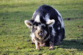 Pig in the barnyard a loose Royalty Free Stock Photo
