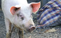 Pig in the barnyard in the village Stock Images