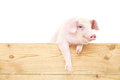 Pig with board on white background Royalty Free Stock Images