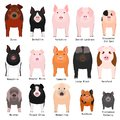 Pig breeds chart with breeds name Royalty Free Stock Photo