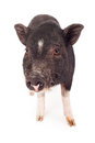 Pig Closeup Royalty Free Stock Photography