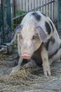Pig in contemplation Royalty Free Stock Photo