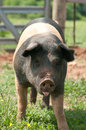 Pig cute at a farm on grass with tongue hanging out Royalty Free Stock Photo