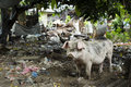 Pig in dirty and messy backyard behind cafe on island of bali indonesia Stock Photos
