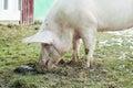 Pig eating dirt Royalty Free Stock Photo