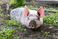 Pig on a farm dirty lying in the mud with dirty snout Royalty Free Stock Images