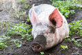 Pig on a farm dirty lying in the mud with dirty snout Stock Photo