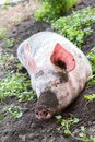 Pig on a farm dirty lying in the mud with dirty snout Royalty Free Stock Photos