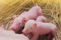 Pig farm newborn piglets on the Royalty Free Stock Images