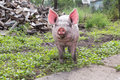 Pig on a farm young walking summer day Stock Photo