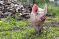 Pig on a farm young walking summer day Royalty Free Stock Image