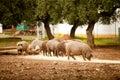 Pig farming Royalty Free Stock Photo