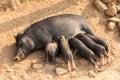 Pig Feeding Piglets