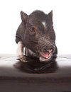Pig with feet up on stool Royalty Free Stock Photos