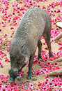 Pig with flowers philippine warty browsing among pink Royalty Free Stock Photo