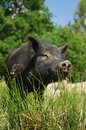 Pig little black animals farm themes Royalty Free Stock Images