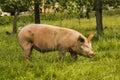 Pig In A Medow