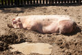 Pig in the mud Royalty Free Stock Photo