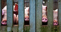 Pig noses Royalty Free Stock Photo