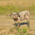 Pig outdoor cute in rural zone Royalty Free Stock Photo