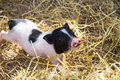 Pig in a pen young piglet on hay and straw at breeding farm Stock Images