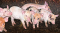 Pig Piglets in pen Stock Images