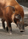 Pig red river hog close up face profile Royalty Free Stock Photos