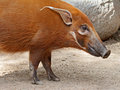 Pig red river hog close up face profile Royalty Free Stock Images