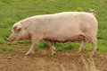 Pig side view of walking on field Royalty Free Stock Photo
