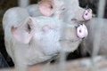 Pig smiling Royalty Free Stock Photo