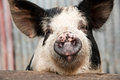 Pig snout Royalty Free Stock Photos