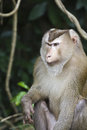 Pig-tailed macaque at Khao Yai national park Stock Photos