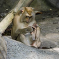 Pig tailed macaques a cute thailand Royalty Free Stock Images
