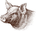 Pig vector drawing of a head of a Royalty Free Stock Photo