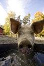 Pig at Water Bowl Royalty Free Stock Images