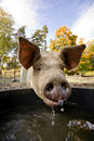 Pig at Water Bowl Stock Image
