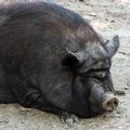 Pig wild black iberian outdoors Royalty Free Stock Photos