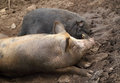 Pig and wild boar resting on a soil Stock Image