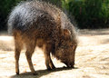 Pig wild chacoan peccary searching for food Royalty Free Stock Photography